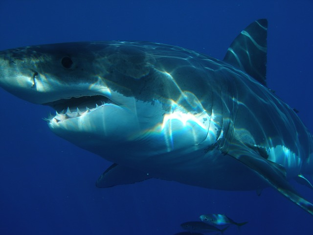 Want to know where great white sharks come from?
