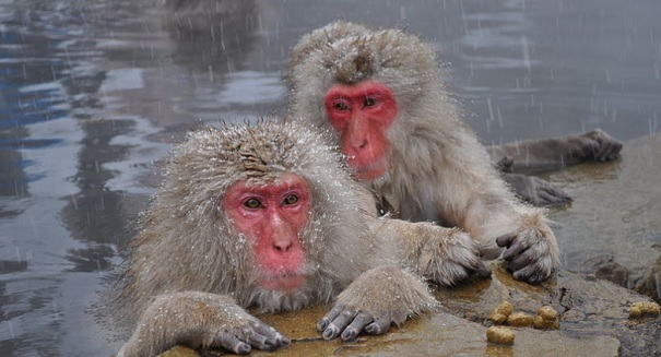Shocking discovery about Japanese monkeys stuns scientists