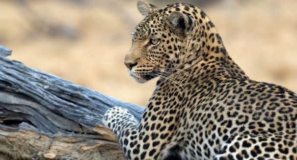The biggest threat to leopards? You may be surprised