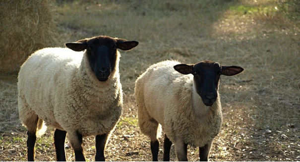 Huge sheep discovery stuns scientists