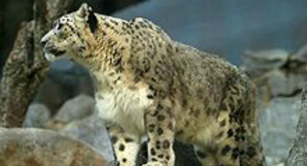 Snow leopard discovery shocks experts