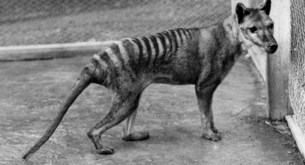Stunning claim: The 'extinct' Tasmanian Tiger has been spotted alive