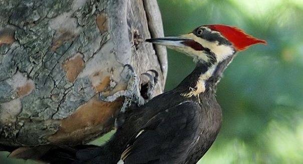Huge woodpecker discovery stuns scientists